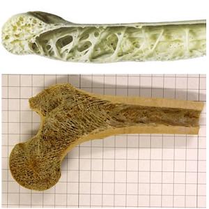 鳥の骨と人間の骨
